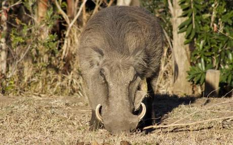 Warthog in Hluhluwe-Umfolozi Game Park, South Africa
