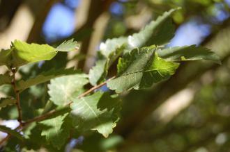 Zelkova carpinifolia Leaf (08/09/2012, Kew Garden, London)