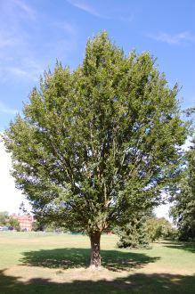 Zelkova carpinifolia (08/09/2012, Kew Garden, London)