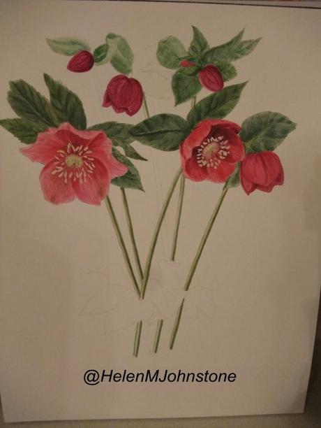 Watercolour 12 – Hellebore (never ending)