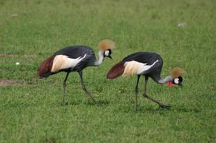 The Grey Crowned Crane, also known as the Crested Crane