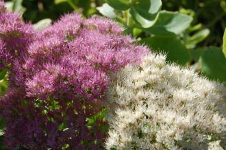 Sedum spectabile 'Stardust' Flower (08/09/2012, Kew gardens, London)
