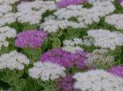 Plant Week: Sedum Spectabile 'Stardust'
