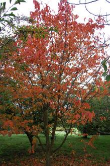 Prunus sargentii (20/10/2012, Kew Gardens, London)