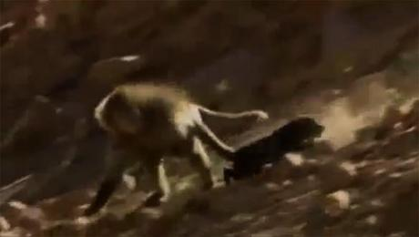 Startling Video of Baboons KIDNAPPING Dogs!