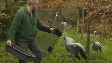 British Zoo Uses Riot Shields Against Aggressive Cranes