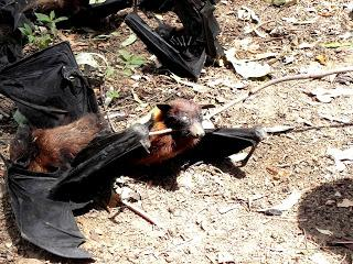 Bats dying in Ranchi city of India.
