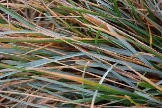 Sesleria caerulea Detail (20/10/2012, Kew Gardens, London)