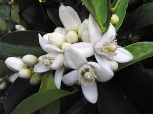 Heal Depression And Increase Confidence With Neroli Oil