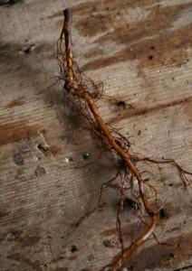 anemone root cuttings