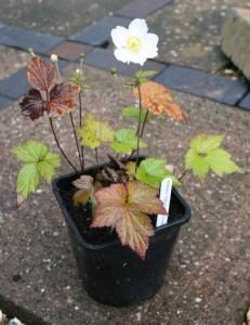 Anemone × hybrida 'Honorine Jobert'