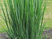 Panicum Virgatum (Switch Grass) 'Northwind'
