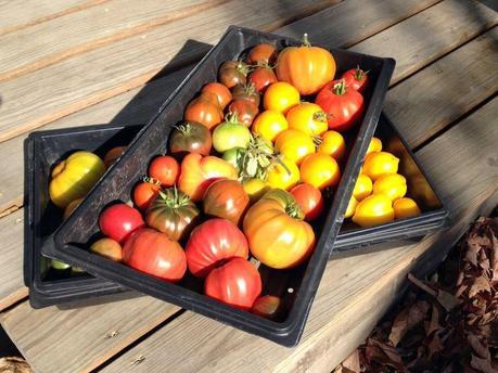 Tomato trays