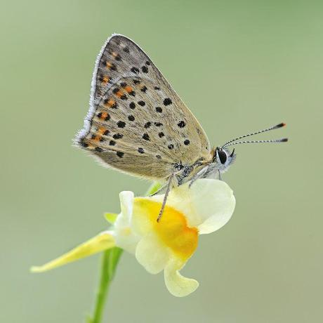 Lycaena tityrus, Cuivré fuligineux, Sooty Coppe