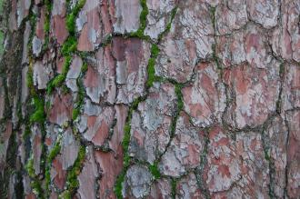 Pinus pinaster Bark (18/11/2012, Kew Gardens, London)
