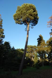 Pinus pinaster (18/11/2012, Kew Gardens, London)