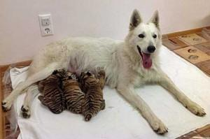 Abandoned Tiger Cubs Adopted By Shepherd Dog