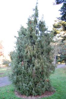 Juniperus communis (18/11/2012, Kew Gardens, London)