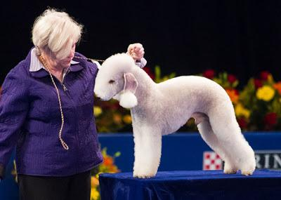 lion the Bedlington Terrier is one of the more unusual terrier breeds ... Unique Looking Dog Breeds