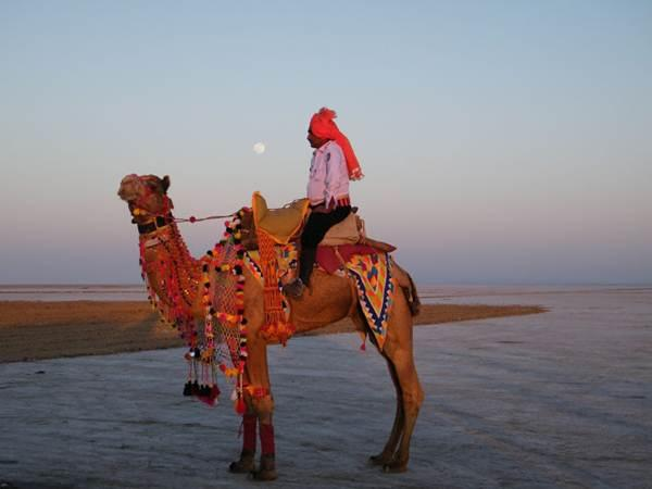 Camel is decorated in Traditional Way - Rann Utsav