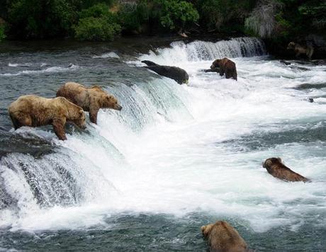 Six bears fishing for salmon at Brooks Falls in Katmai National Park