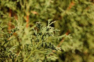 Cupressus torulosa var. gigantea Leaf (18/11/2012, Kew Gardens, London)