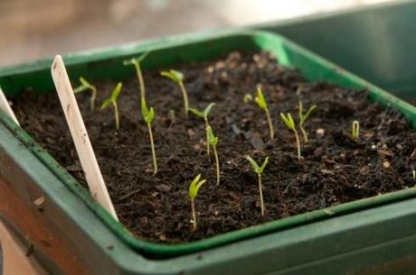 Chili pepper seedlings. Seeds bought from Sea Spring Seeds