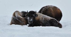 Young buffalo bed down on a frosty winter's day.
