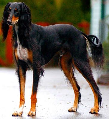 The 10 Most EXPENSIVE DOG Breeds!