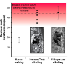 The dorsiflexion capabilities of humans, the Twa and and chimps