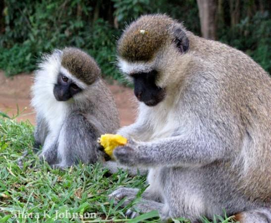 Vervet monkeys in South Africa