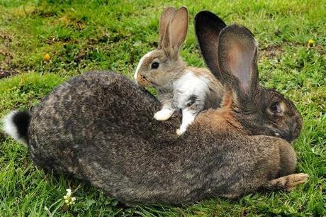 darius-biggest-bunny-rabbit-2