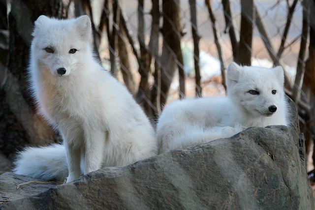A free essay on the arctic fox