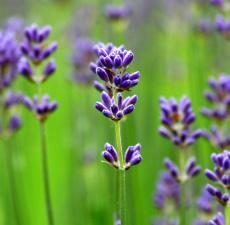 all about Lavender and where to find the best Lavender essential oils