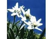 Legend Edelweiss Flower