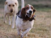Photos Basset Hounds Running