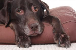 Five Useful Tips to Keep an Ageing Dog Healthy and Happy