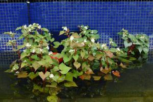 Houttuynia cordata 'Flora Pleno' (18/06/2011, London)