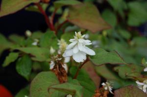 Houttuynia cordata 'Flora Pleno' flower (18/06/2011, London)