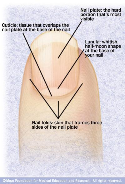 Vertical nail ridges