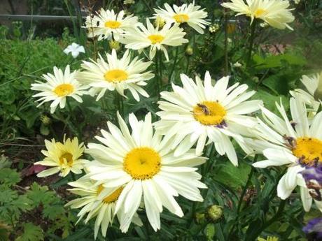 Garden Bloggers Bloom Day – July 2011