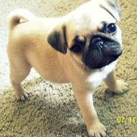 Pug Shots #2: Meet Penni the Pug!