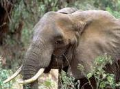 Featured Animal: African Forest Elephant