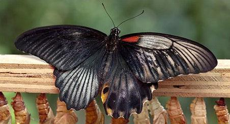 A Rare He-She Butterfly Is Born In London's Natural History Museum