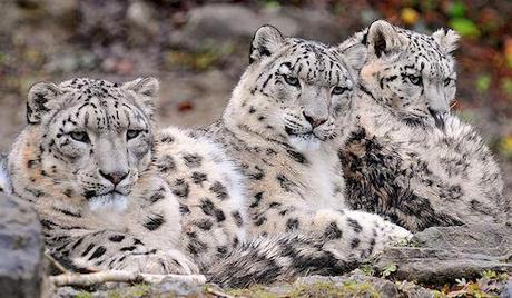 Snow Leopards Discovered Thriving In Afghanistan