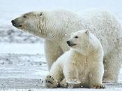 Today's Polar Bears Trace Ancestry Ireland