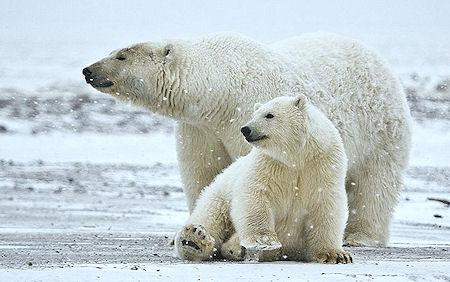 Today's Polar Bears Trace Ancestry To Ireland
