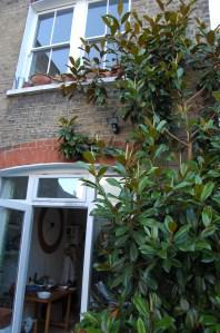 Magnolia grandiflora wall trained (09/07/2011)
