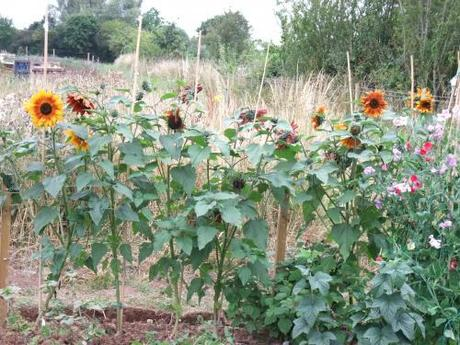 Sunflowers look great - haven't heart to cut them
