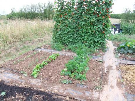 Mum's runner beans with my parsnips and salads in front